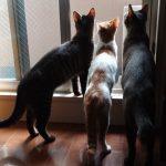 保護猫の譲渡について@にしニャかじま
